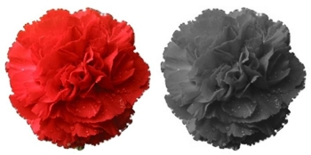 red-carnation1